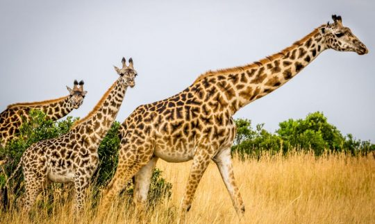 are giraffes endangered